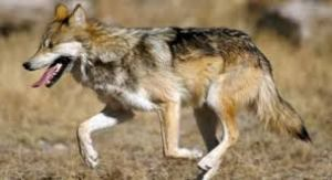 Endangered Mexican Wolves need to be reintroduced to Southwest