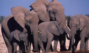 Stop the ivory trade now! Save the elephants!