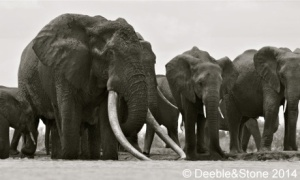 Elephants are being poached. Say NO! to the Ivory Trade