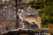Mexican wolves need to be protected and allowed to roam
