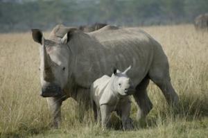 White rhino and calf