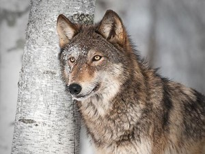 Wolves need to be protected under the ESA
