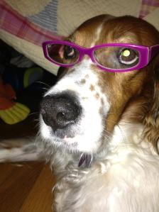 Ginger, my English setter wearing purple eyeglasses