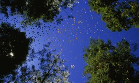 Monarch butterflies need our protection