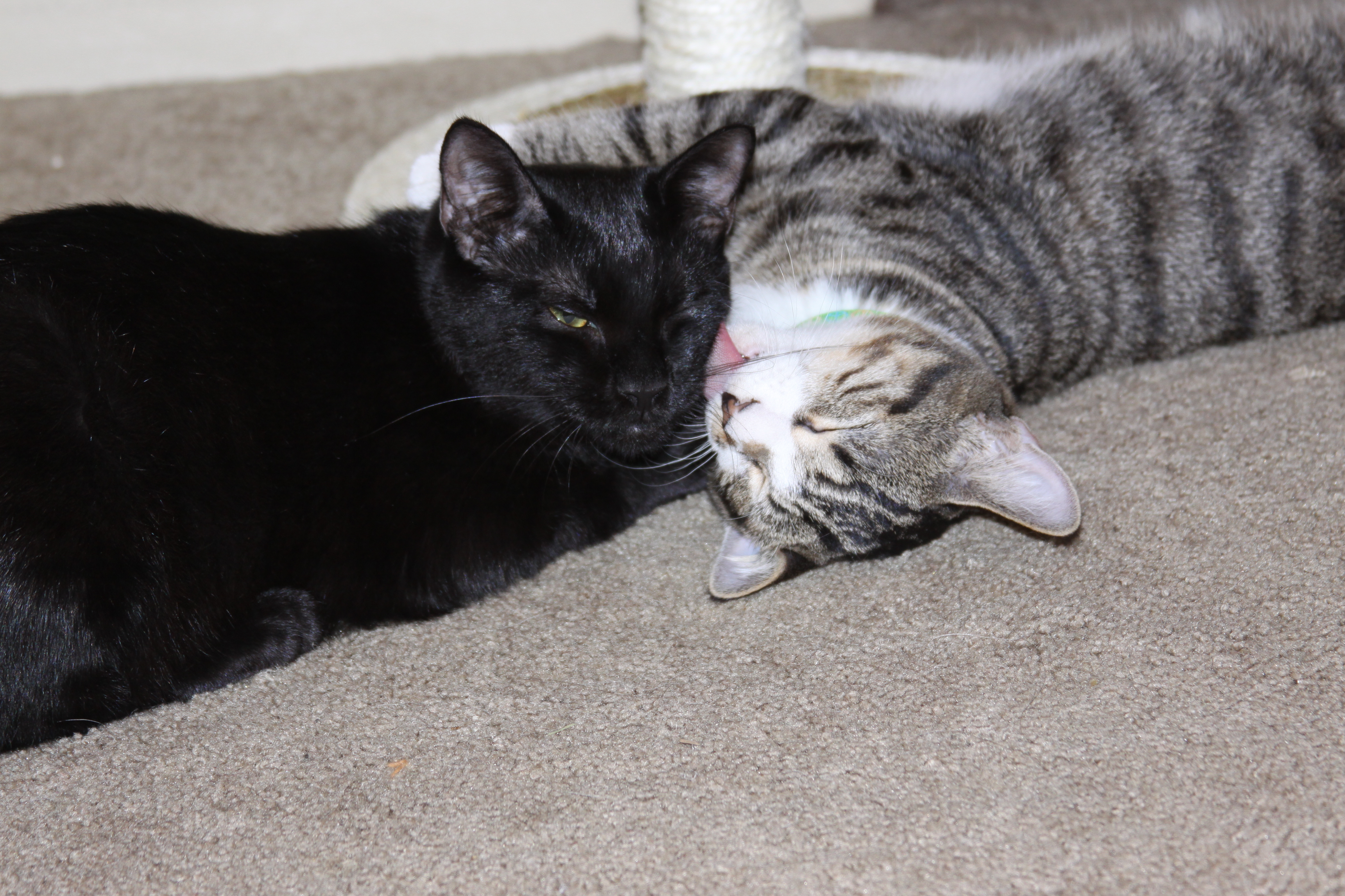 Two cats snuggling together