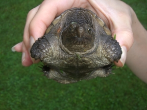 Snapping turtle in my backyard