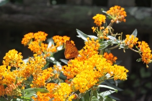 Butterfly on milkweed in my garden